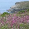 Coastal wildflowers near Tintagel