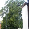 Bookham tree gets a haircut