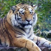 Tiger at Howletts