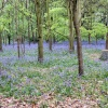 Bluebell wood, Speke Hall