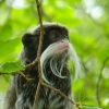 Emperor Tamarin at Newquay Zoo, Cornwall