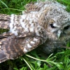 Tawny Owl fledgling near Cottingham