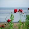 Poppies at Whitburn Beach