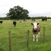 Tilbrook cattle