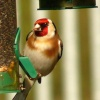 Goldfinch feeding in our Thurmaston garden