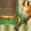 A Goldfinch feeding In our garden in Thurmaston