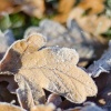 Frosted Leaves on the ground at Branston Water Park