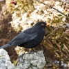 Windermere Blackbird