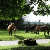 Dartmoor ponies by Widecombe-in the-Moor Church