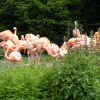 Flamingo's at Slimbridge