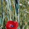 Poppies and wheat in Thurmaston
