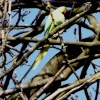Wild Parakeet in Farnborough, London