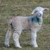 Spring Lamb on Romney Marsh
