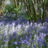 Preston Bluebells