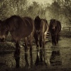 Ponies - Snelsmore Common, Newbury, Berkshire