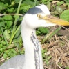 A Grey Heron in Watermead Country Park