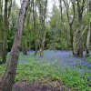 The Woods With Bluebells