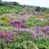 Heather in full bloom on Dunwich Heath