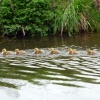 The first Goslings of the year in Watermead Country Park