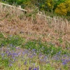 Gorse and Bluebells
