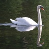 Swan on the lake, Priory Park, Reigate