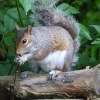 Grey Squirrel at Sherwood Forest