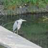 Heron at Worsbrough Mill Dam