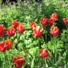 Red Tulips, Constable Burton Hall Gardens, North Yorkshire