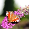 Butterfly at Hartshill