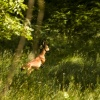 Deer near Grasmere