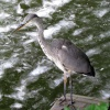 A Heron near the Grand Union Canal