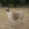 Llama at St Olaves Priory