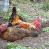 Chicken Run - well lay down.
