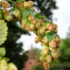 Hops at Chiddingstone