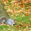 Squirrel in Caldecott Park, Rugby