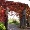 Virginia Creeper on the Entrance to Great Chalfield Manor