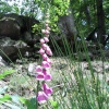 Beck Hole - Foxgloves on Path to Thomason Foss