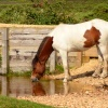 Thirsty Horse