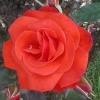 Another new red rose also flowering for the first time
