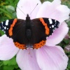Red Admiral butterfly in our Thurmaston garden
