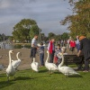 Swans mixing with the public at Christchurch Quay