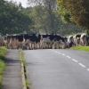 Cattle being moved from field to field at Hessay, North Yorkshire