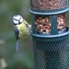 Bluetit at at a feeder on the site.
