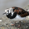 Ruddy Turnstone, River Wall, South of Toxteth Dock.