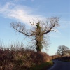 Bare Oak Tree in North Leigh near Witney.