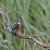 Kingfisher at Sculthorpe Moor