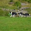The three collies - Glencoe