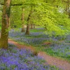Bluebells flower carpet
