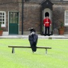 Raven on Guard at the Tower of London