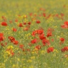Poppies at Somerton, Oxfordshire